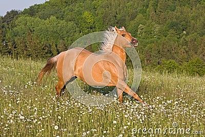 Nice palomino horse running