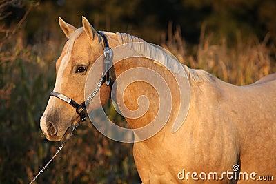 Nice palomino horse in sunset
