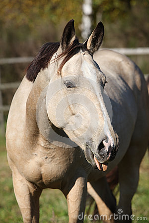 Nice palomino mare showing its tongue