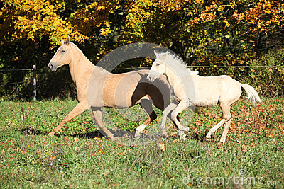 Nice palomino mare withfoal running in autumn