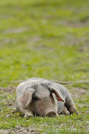 Nice pig sleeping.