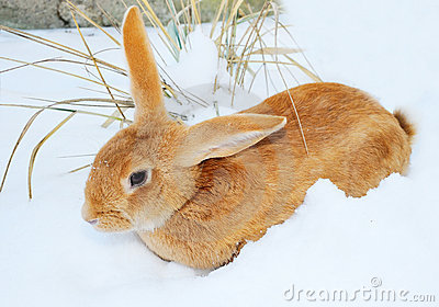 Nice rabbit on snow