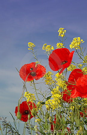 Free Nice Red Poppies Stock Photo - 4862280