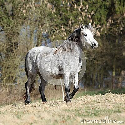 Nice welsh mountain pony running on pasturage