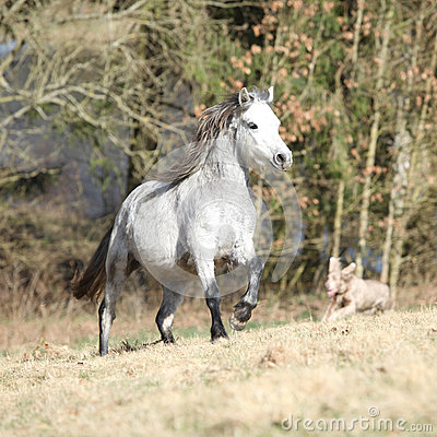 Nice welsh mountain pony running on pasturage