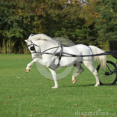 Nice welsh mountain pony stallion running