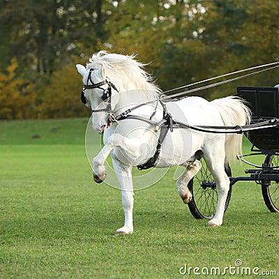 Nice welsh mountain pony stallion running