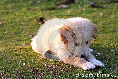 Nice white labrador