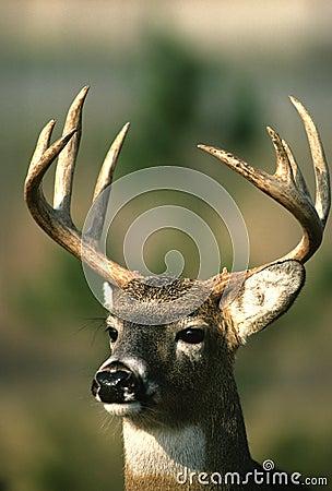 Nice Whitetail Buck Portrait