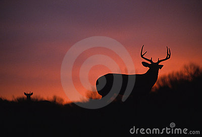 Nice Whitetail Buck in Sunset