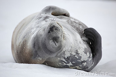 Nickerchen machende Weddell Robbe, Antarktik