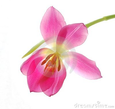 Único tulip cor-de-rosa
