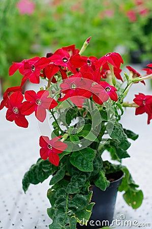 Nicotiana alata Saratoga Red