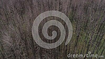 Nieżywy las, więdnący drzewa, flyind abobe las zdjęcie wideo
