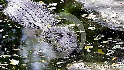 Niebezpieczny duży krokodyl w Tajlandii, zwierzę dzikie zdjęcie wideo