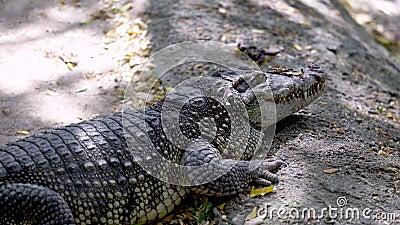Niebezpieczny duży krokodyl w Tajlandii, zwierzę dzikie zbiory wideo