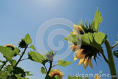 Niebieskie niebo słonecznik