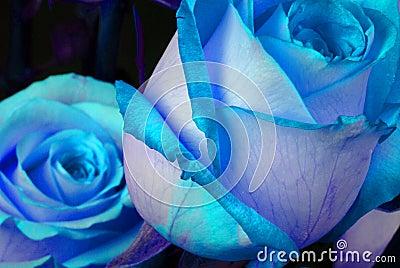 Niebieskie róże