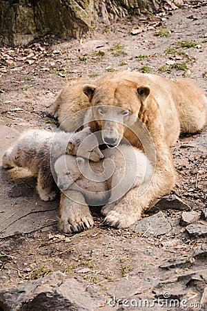 Niedźwiedzie polarni