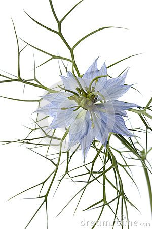 Nigella flower close up