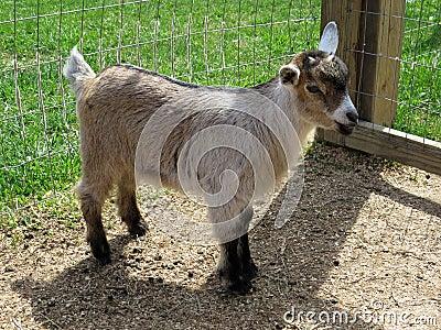 Nigerian Dwarf goat doeling