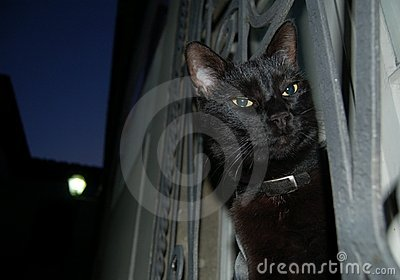 Night black cat