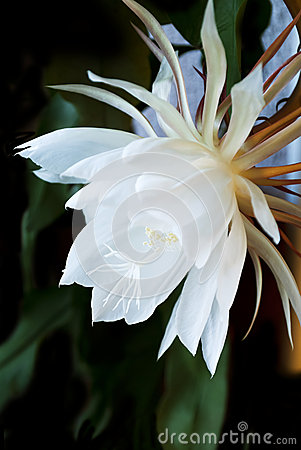 Free Night Blooming Cereus. Also Known As Queen Of The Night. Stock Photo - 34927170