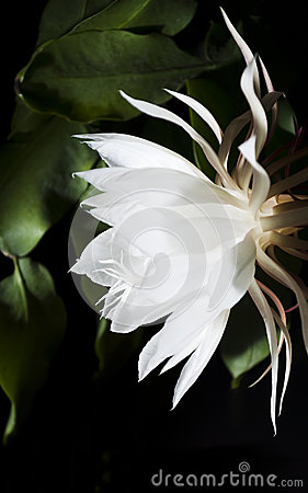 Free Night Blooming Cereus. Also Known As Queen Of The Night. Royalty Free Stock Images - 34927199