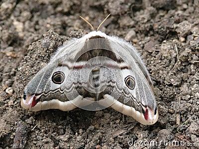 Night butterfly. A moth.
