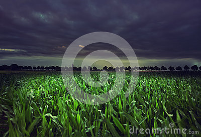 Night cornfield
