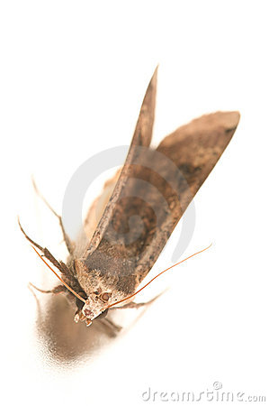 Free Night Hawk Moth Royalty Free Stock Photos - 16714248
