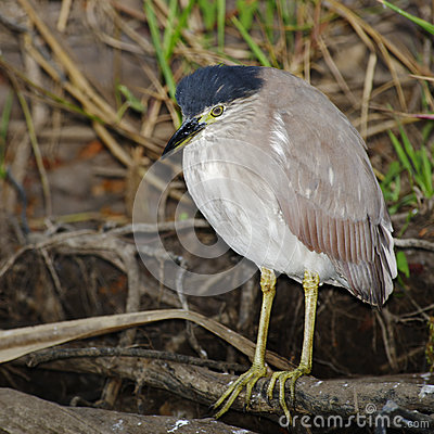 Free Night Heron, Kakadu National Park, Australia Royalty Free Stock Photos - 77161508