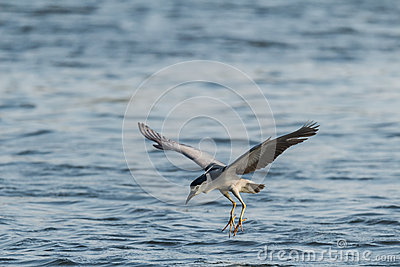 Is night heron to catch fish