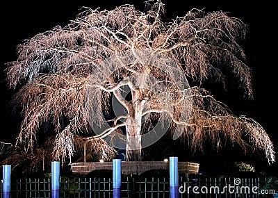 Night old cherry tree