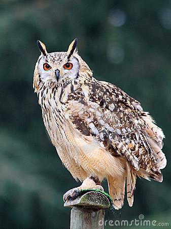 Free Night Owl Royalty Free Stock Photo - 1645095