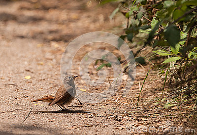Nightingale on the ground
