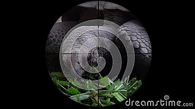 Nigra de Chelonoidis de la tortuga gigante de las Islas Galápagos visto en alcance del rifle del arma Caza de la fauna El escalfa metrajes