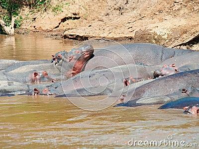 Nijlpaard (Nijlpaardamphibius) in rivier.