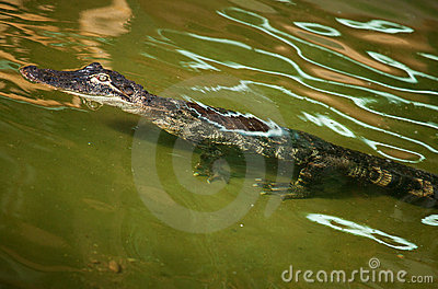 Nile crocodile in ambush