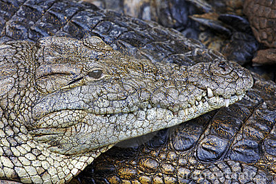 Nile crocodile, close up