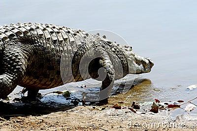 Nile Crocodile entering water
