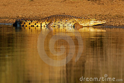 Nile crocodile, Kruger Park, South Africa