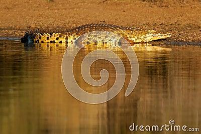 Nile crocodile, Kruger Park, South Africa