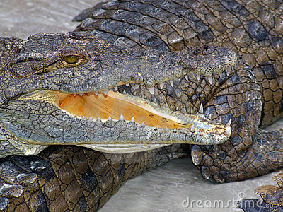 Nile crocodile with open mounth
