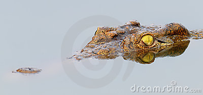 Nile crocodile with perfect reflection in water