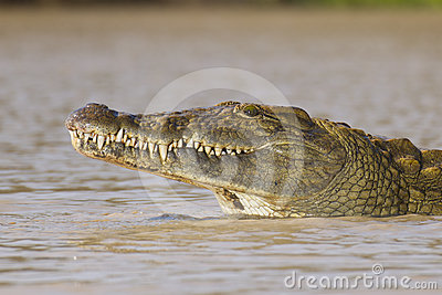 Nile Crocodile, South Africa