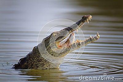 Nile crocodile swallowing fish