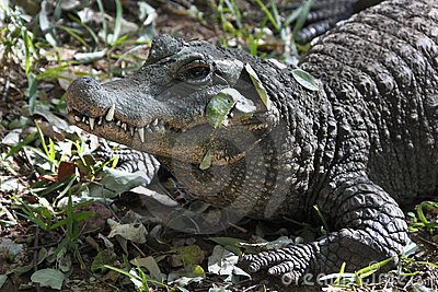 Nile Crocodile - Zimbabwe