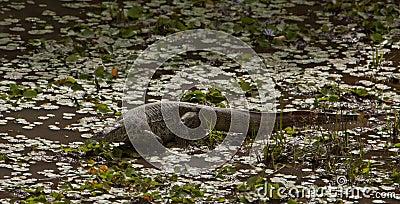Nile Monitor in a lagoon