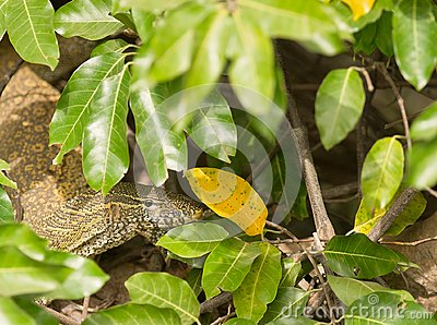 Nile Monitor under cover